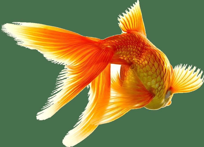 A Goldfish swimming